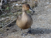 Female Pintail