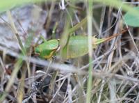 green-swordtail-cricket