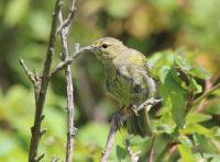 Juvenile common yellowthroat?