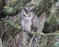 long_eared_owl