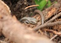 northwest-alligator-lizard