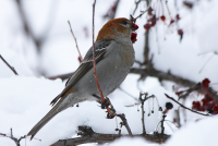 pine-grosbeak2