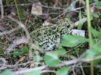western_toad