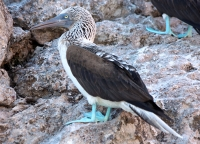 blue_footed_booby2