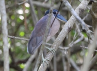 boat_billed_heron
