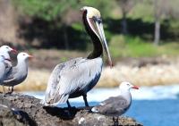 pelican2_0