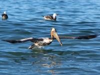 pelican_0