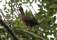 rufous_bellied_chachalaca