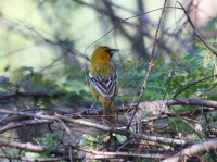 streak_backed_oriole