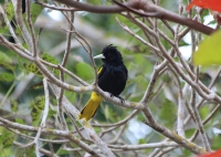 yellow_winged_cacique