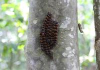 Unknown caterpillars