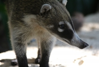Mandatory coati photo