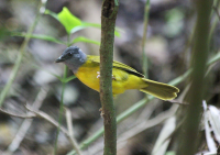 grey-headed-tanager