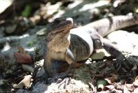Mandatory iguana photo