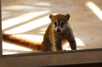 Saddest baby coati ever