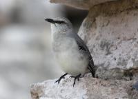 tropical-mockingbird