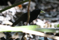 yellow-billed-cacique
