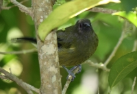 Bellbird