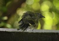 Soggy bellbird