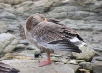 Feral goose