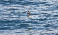 Mystery petrel / shearwater