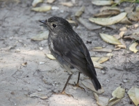 South-island Robin