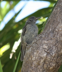 Female stitchbird