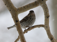 Cassin's finch, Utah, April 2017