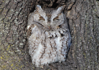Eastern screech owl, Boston, March 2015