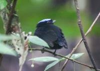 blue-crowned-manakin
