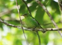green-honeycreeper