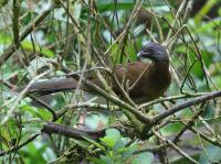 grey-headed-chacalaca