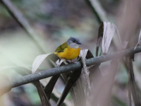 grey_headed_tanager